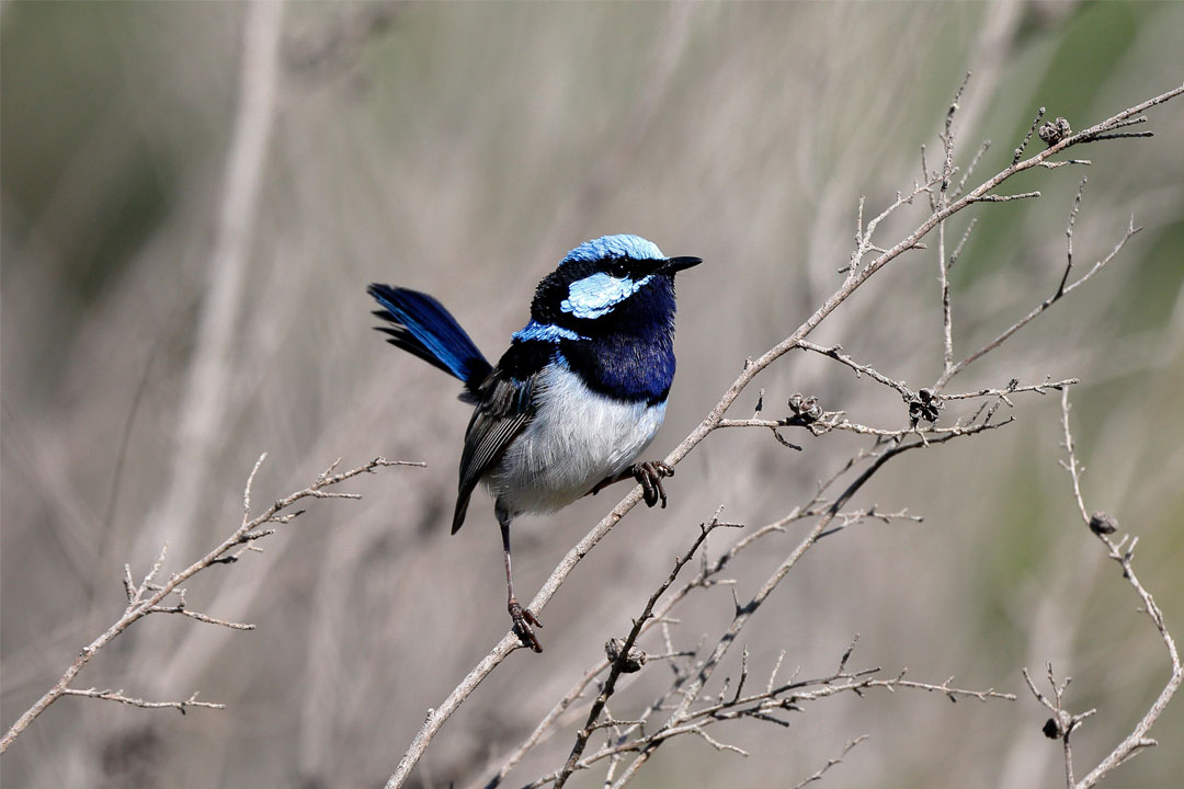 'Superb Fairy-Wren' by Ed Dunens, flic.kr/p/JPsypP, Creative Commons Attribution 2.0